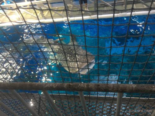 美ら海水族館の黒潮探検 ジンベエザメ