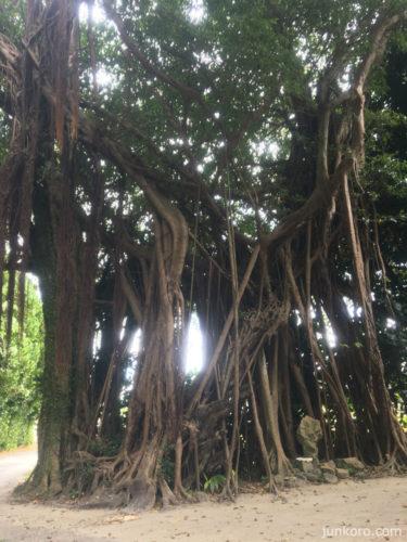 備瀬のがじゅまるの木
