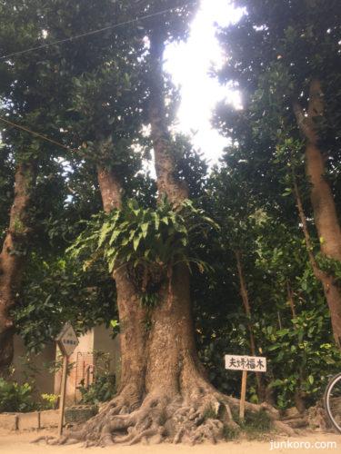 備瀬の夫婦福木
